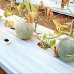 Mencicipi Melon dan Semangka di Tempat Wisata Baru Agrowisata Tunas Muda Tani