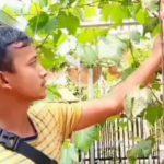 Ada Banyak Pohon Anggur di Kampung Pengangguran