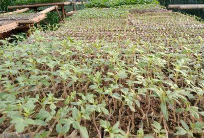 Usaha Pembibitan Sayuran dari Pekarangan Rumah