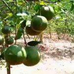 Kebun Jeruk Koko Chan dan Bang Aan, Agrowisata Baru di Pesawaran